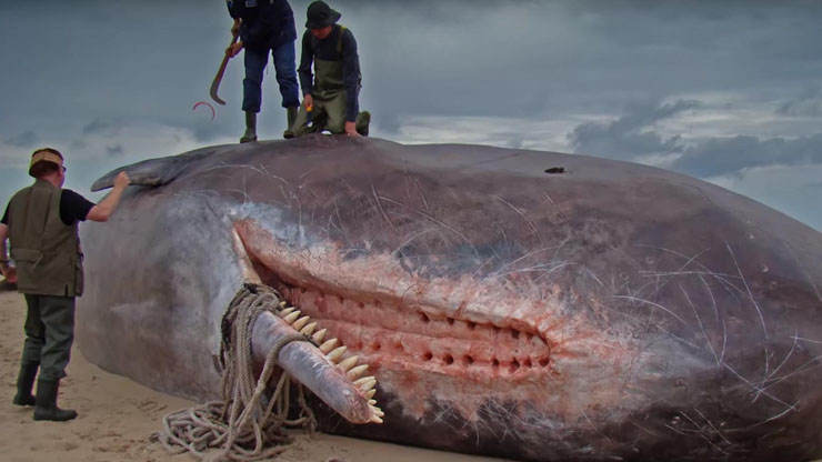 Sperm Whales Have Sockets For Their Teeth