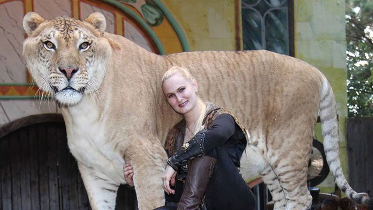 Bred From A Female Lion And Male Tiger