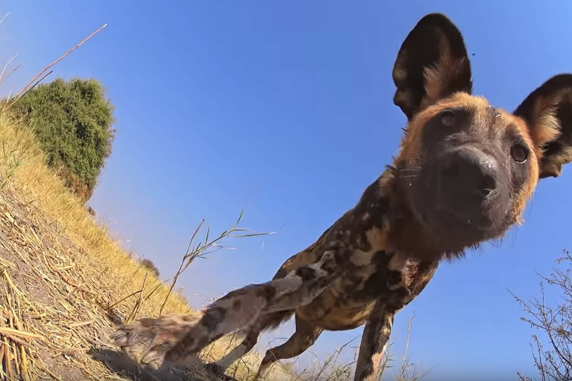 Spy Pup must first be accepted by the wild dog