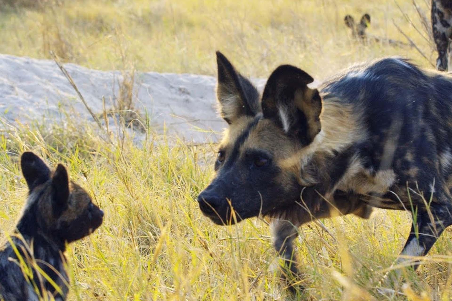 Spy Puppy Meets Wild Dogs