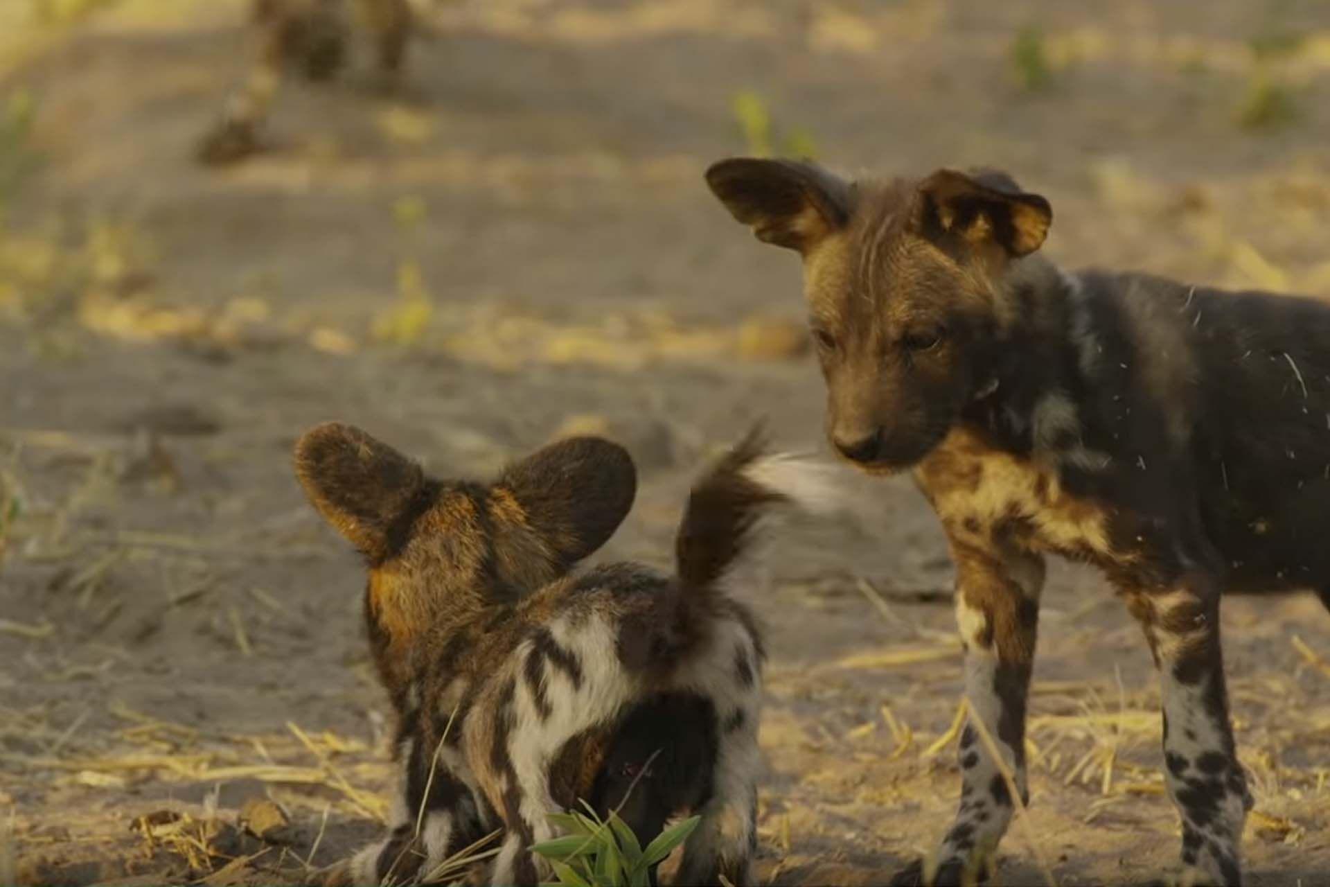Wild Dog Body Language Tail