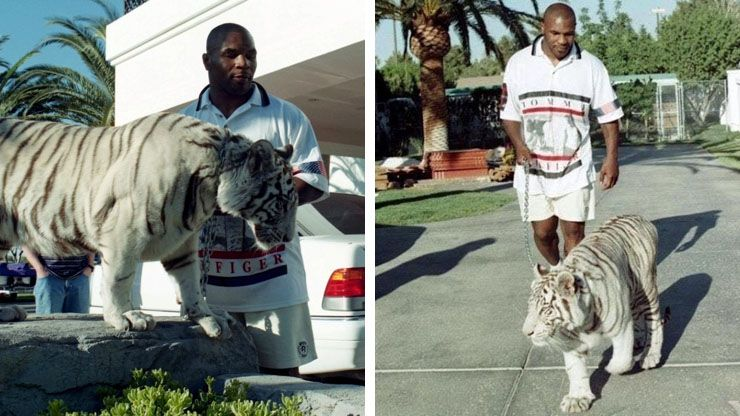 Mike Tyson s  70 000 Bengal Tigers2
